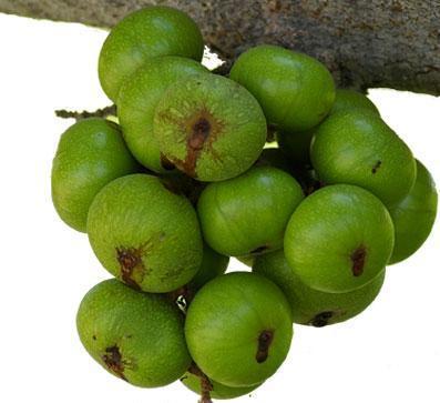 Sung giàu vitamin B6, giúp bà bầu giảm táo bón.